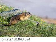 Купить «Alpine marmot», фото № 30843594, снято 27 мая 2019 г. (c) age Fotostock / Фотобанк Лори