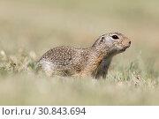 Купить «European ground squirrel», фото № 30843694, снято 27 мая 2019 г. (c) age Fotostock / Фотобанк Лори