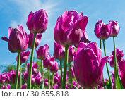 Купить «Пурпурные тюльпаны на фоне голубого неба в весенний день», фото № 30855818, снято 16 мая 2019 г. (c) E. O. / Фотобанк Лори