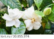 Гардения жасминовидная (Gardenia jasminoides). Белые цветы крупным планом. Стоковое фото, фотограф E. O. / Фотобанк Лори