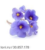 Купить «голубая африканская фиалка на белом фоне», фото № 30857178, снято 28 мая 2019 г. (c) Tamara Kulikova / Фотобанк Лори