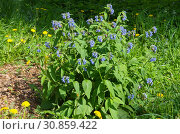 Купить «Окопник (лат. Symphytum) цветет в саду», фото № 30859422, снято 20 мая 2019 г. (c) Елена Коромыслова / Фотобанк Лори