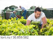 Купить «Adult son, along with his parents, weeds potatoes on the field», фото № 30859582, снято 15 мая 2019 г. (c) Яков Филимонов / Фотобанк Лори