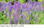 Купить «Many beautiful glade with blooming lupins», видеоролик № 30871210, снято 4 июня 2019 г. (c) Володина Ольга / Фотобанк Лори