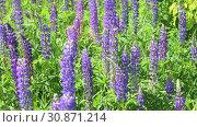 Купить «Many beautiful glade with blooming lupins», видеоролик № 30871214, снято 4 июня 2019 г. (c) Володина Ольга / Фотобанк Лори