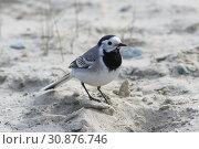 Купить «Motacilla alba. Белая трясогузка стоит на песке», фото № 30876746, снято 5 июня 2019 г. (c) Григорий Писоцкий / Фотобанк Лори