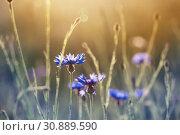 Купить «blue cornflowers in wheat field on sunset», фото № 30889590, снято 6 июня 2019 г. (c) Майя Крученкова / Фотобанк Лори