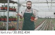 Купить «Young man gardener working with tomatoes seedling in pots in greenhouse», видеоролик № 30892434, снято 26 апреля 2019 г. (c) Яков Филимонов / Фотобанк Лори