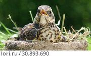 Купить «Nestling thrush fieldfare sitting in a nest on the background of the surrounding nature», видеоролик № 30893690, снято 8 июня 2019 г. (c) Алексей Кузнецов / Фотобанк Лори
