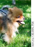 Купить «Dog of small fluffy breed on a grass», фото № 30895754, снято 9 июня 2019 г. (c) Землянникова Вероника / Фотобанк Лори