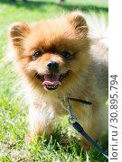 Купить «Dog of small fluffy breed on a grass», фото № 30895794, снято 9 июня 2019 г. (c) Землянникова Вероника / Фотобанк Лори
