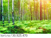 Купить «Summer forest landscape. Forest trees and fern plants lit by soft sunlight. Forest nature in sunny evening», фото № 30925470, снято 23 августа 2013 г. (c) Зезелина Марина / Фотобанк Лори