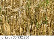 Купить «Созревший ячмень (лат. Hordeum) на поле», фото № 30932830, снято 9 сентября 2017 г. (c) Елена Коромыслова / Фотобанк Лори