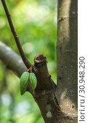 Купить «Fresh green cocoa beans grow on a tree in a botanical garden of plants and spices in Sri Lanka», фото № 30948290, снято 15 марта 2019 г. (c) katalinks / Фотобанк Лори