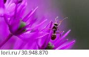 Купить «Ant on the onion flower», видеоролик № 30948870, снято 12 июня 2019 г. (c) Игорь Жоров / Фотобанк Лори