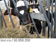 Купить «Теленок жует сено в помещении фермы», фото № 30950350, снято 28 мая 2019 г. (c) Ирина Борсученко / Фотобанк Лори