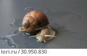 Купить «Marco close-up of snail slow moving on wet concrete», видеоролик № 30950830, снято 16 июня 2019 г. (c) Яна Королёва / Фотобанк Лори