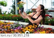 Купить «Florist demonstrating pot of garden flowers», фото № 30951218, снято 17 ноября 2019 г. (c) Яков Филимонов / Фотобанк Лори