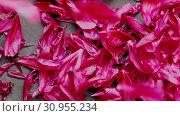Background of red burgundy peony petals. Стоковое видео, видеограф Ольга Сергеева / Фотобанк Лори