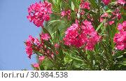 Купить «Beautiful pink blooming oleander on a sunny day», видеоролик № 30984538, снято 13 июня 2019 г. (c) Володина Ольга / Фотобанк Лори