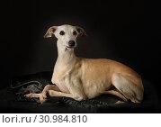 Купить «Italian Greyhound dog over black», фото № 30984810, снято 15 июня 2019 г. (c) Алексей Кузнецов / Фотобанк Лори