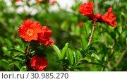 Купить «Flowering pomegranate bush with a red flowers», видеоролик № 30985270, снято 13 июня 2019 г. (c) Володина Ольга / Фотобанк Лори