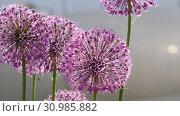 Купить «Insects on the onion flower», видеоролик № 30985882, снято 13 июня 2019 г. (c) Игорь Жоров / Фотобанк Лори