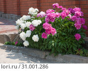 Пышно цветущие кусты белых и розовых пионов у кирпичного забора на деревенской улице отбрасывают тень. Стоковое фото, фотограф Наталья Николаева / Фотобанк Лори