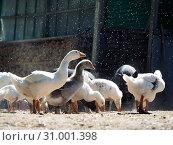 Купить «Geese under water from automatic watering on a hot day», фото № 31001398, снято 17 июля 2019 г. (c) Ирина Козорог / Фотобанк Лори
