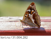 Купить «Переливница тополёвая. Lesser Purple Emperor Butterfly», фото № 31004282, снято 25 июня 2019 г. (c) Галина Савина / Фотобанк Лори