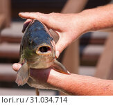 Купить «Портрет разевающей рот только что выловленной рыбы,  которую держат руки удачливого рыбака», фото № 31034714, снято 23 июня 2019 г. (c) Наталья Николаева / Фотобанк Лори