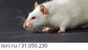 Купить «Animal white rat close-up on a black background», фото № 31050230, снято 13 марта 2018 г. (c) easy Fotostock / Фотобанк Лори