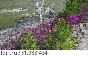 Купить «Video from a drone flying along Altai river Katun in Spring season. Bank with rhododendron bushes at the beginning of flowering», видеоролик № 31083434, снято 3 июня 2019 г. (c) Serg Zastavkin / Фотобанк Лори