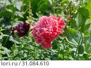 Купить «Красивые пионовидные маки цветут на клумбе», фото № 31084610, снято 18 июля 2018 г. (c) Елена Коромыслова / Фотобанк Лори