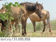 Herd of Wild Konik or Polish primitive horse (konik polski or konik biłgorajski). (2019 год). Стоковое фото, фотограф Некрасов Андрей / Фотобанк Лори