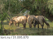 Herd of Wild Konik or Polish primitive horse (konik polski or konik biłgorajski) walk through the flooded forest in Danube delta. (2019 год). Стоковое фото, фотограф Некрасов Андрей / Фотобанк Лори