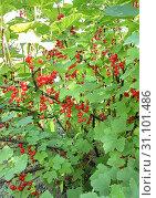 Купить «Branch with redcurrant berries in the garden», фото № 31101486, снято 22 июня 2018 г. (c) easy Fotostock / Фотобанк Лори