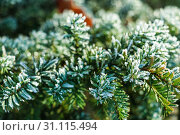 Купить «Frozen and covered with frost pine tree branch on an early winter morning, close up view», фото № 31115494, снято 18 ноября 2018 г. (c) easy Fotostock / Фотобанк Лори