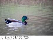 Купить «Mallard crossing the lake at a relaxing way possible in Lake Texoma, Texas», фото № 31135726, снято 18 мая 2018 г. (c) easy Fotostock / Фотобанк Лори