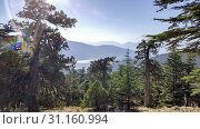 Купить «Firs tall trees forests and woodlands. Antalya», фото № 31160994, снято 23 сентября 2017 г. (c) easy Fotostock / Фотобанк Лори