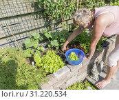 Купить «Femail hand picking food from the garden as lettuce and chard for the evening salad», фото № 31220534, снято 4 июня 2018 г. (c) easy Fotostock / Фотобанк Лори