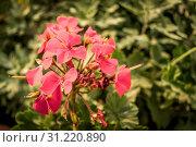 Купить «Branches of red flower and buds», фото № 31220890, снято 11 июля 2020 г. (c) easy Fotostock / Фотобанк Лори