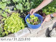 Купить «Femail hand picking food from the garden as lettuce and chard for the evening salad», фото № 31223810, снято 4 июня 2018 г. (c) easy Fotostock / Фотобанк Лори