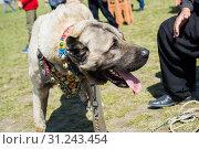 Купить «Turkish breed shepherd dog Kangal as livestock guarding dog», фото № 31243454, снято 12 мая 2018 г. (c) easy Fotostock / Фотобанк Лори