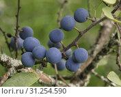 Купить «Wild blue plum berries on branches in the summer garden.», фото № 31254590, снято 22 августа 2018 г. (c) easy Fotostock / Фотобанк Лори