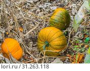 Купить «Some fresh growing squash autumn pumpkins organically cultivated for halloween», фото № 31263118, снято 1 ноября 2018 г. (c) easy Fotostock / Фотобанк Лори