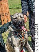 Купить «Turkish breed shepherd dog Kangal as livestock guarding dog», фото № 31269354, снято 12 мая 2018 г. (c) easy Fotostock / Фотобанк Лори
