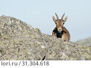 Купить «Iberian ibex, Capra pyrenaica, Iberian Ibex, Spain, on top of the rock», фото № 31304618, снято 9 августа 2008 г. (c) easy Fotostock / Фотобанк Лори