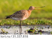 Купить «Black-tailed Godwit in wet meadow, Black-tailed Godwit, Limosa limosa», фото № 31337818, снято 30 апреля 2011 г. (c) age Fotostock / Фотобанк Лори