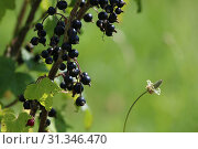 Купить «Blackcurrant on bush branch. Blackcurrant on bush. Blackcurrant in garden. Summer berries in Latvia. Green background with black currants.», фото № 31346470, снято 14 июля 2015 г. (c) easy Fotostock / Фотобанк Лори